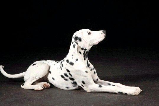 Чи брати собаку великої породи в квартиру?