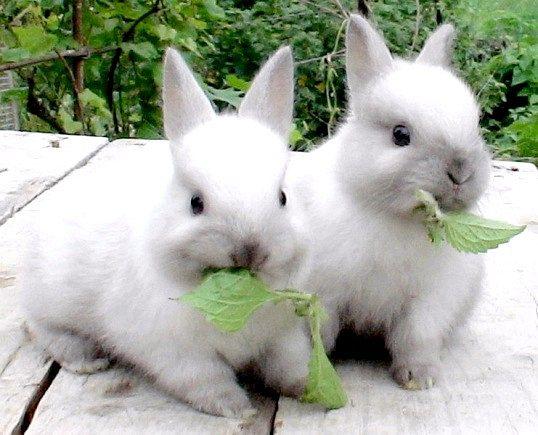 Чим годувати декоративного кролика