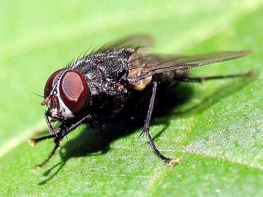 Чим краще всього труїти мух