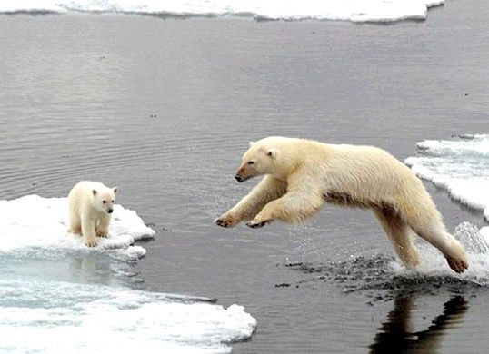 Чим харчуються білі ведмеді