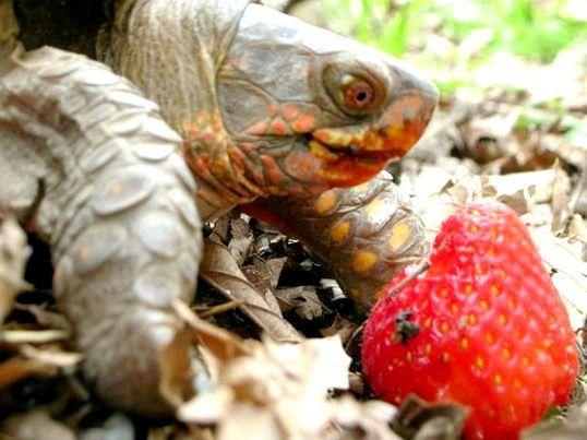 Чим харчуються черепахи в домашніх умовах