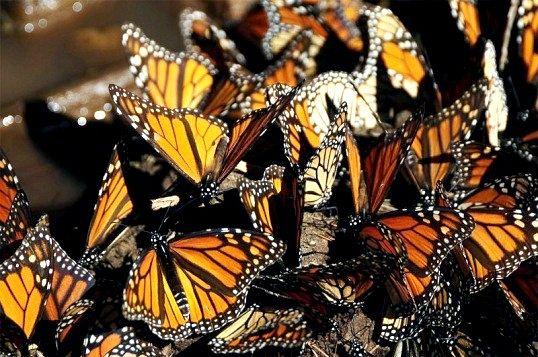Чим знаменита метелик монарх