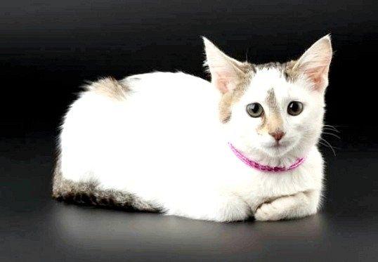 Через скільки після пологів можна стерилізувати кішку