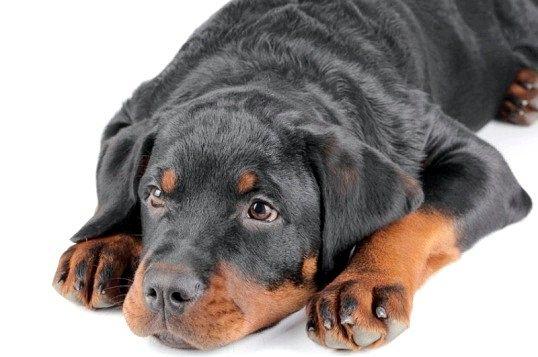 Що робити, якщо собака з'їв носок