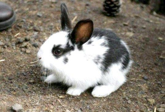 Раціон кролика
