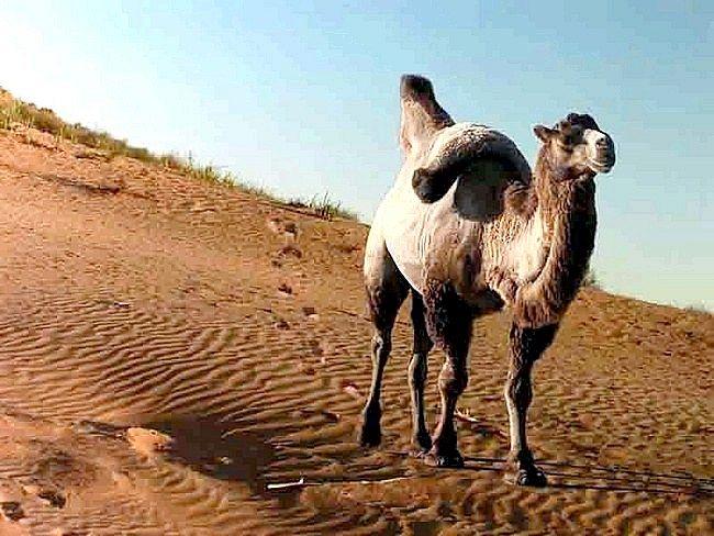 Що їсть верблюд