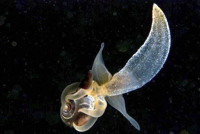 Що таке морський ангел (молюск)