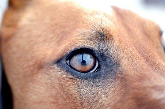 Єгипетська собака - найдавніша порода