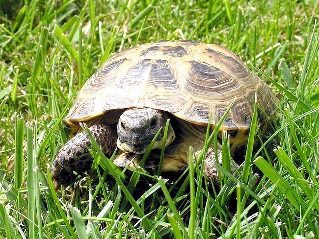домашні черепахи водяні як їх розлічать дівчинка чи хлопчик