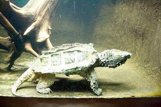 Де мешкає грифова черепаха