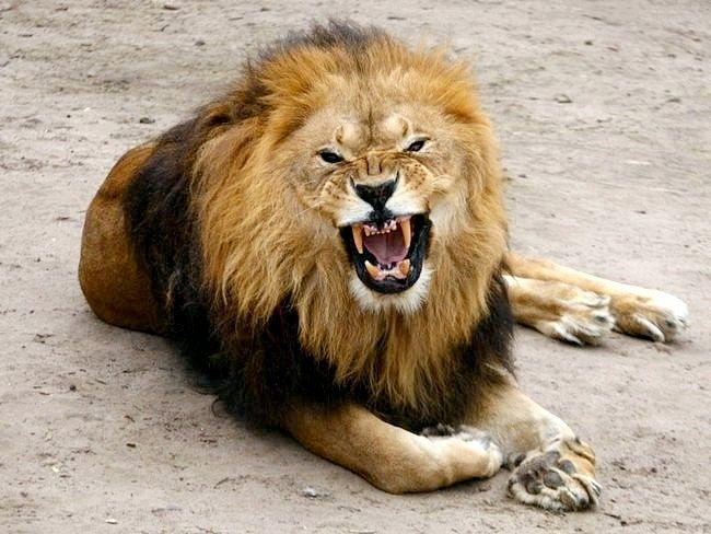 живуть леви