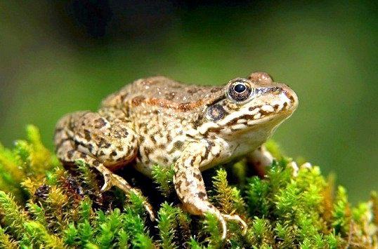 До чого сниться жаба