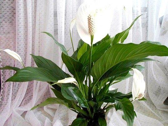Як часто потрібно поливати квітку «жіноче щастя»