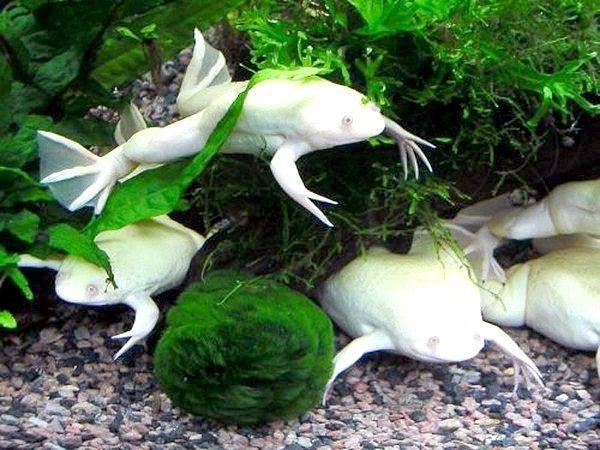 Як їх утримувати і розводити акваріумних жаб