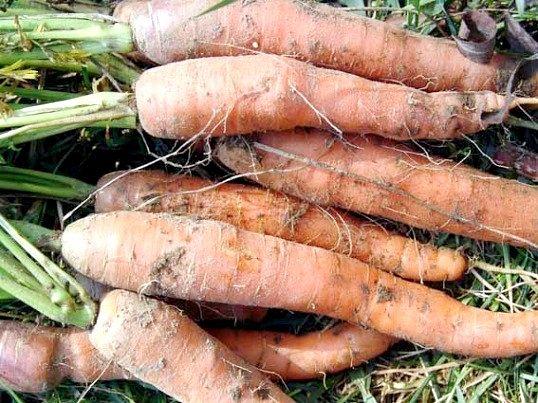 Як позбутися від личинок морквяної мухи