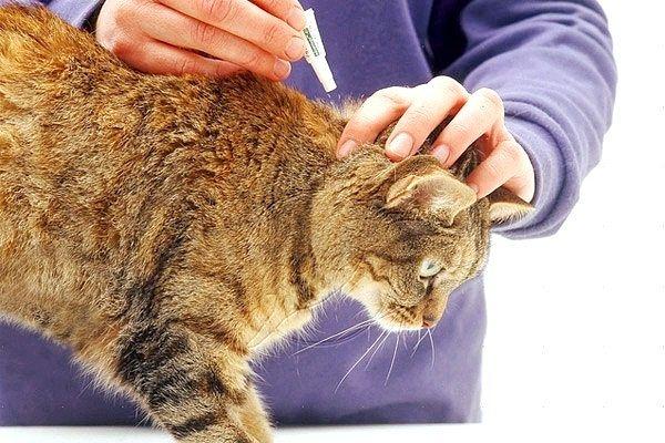 Як кішкам капати краплі від бліх