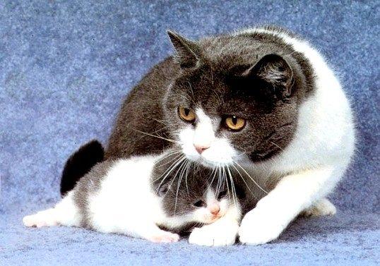 Як лікується мастит у кішок