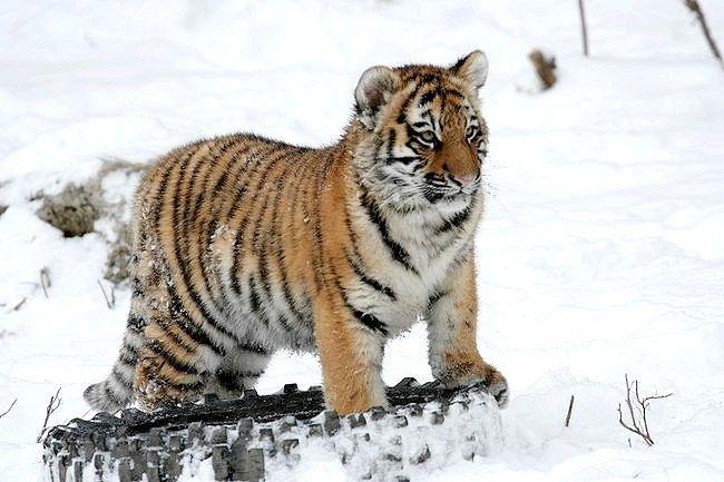 Скільки залишилося особин амурського тигра