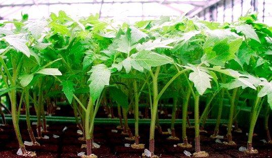 Як підгодовувати розсаду помідорів