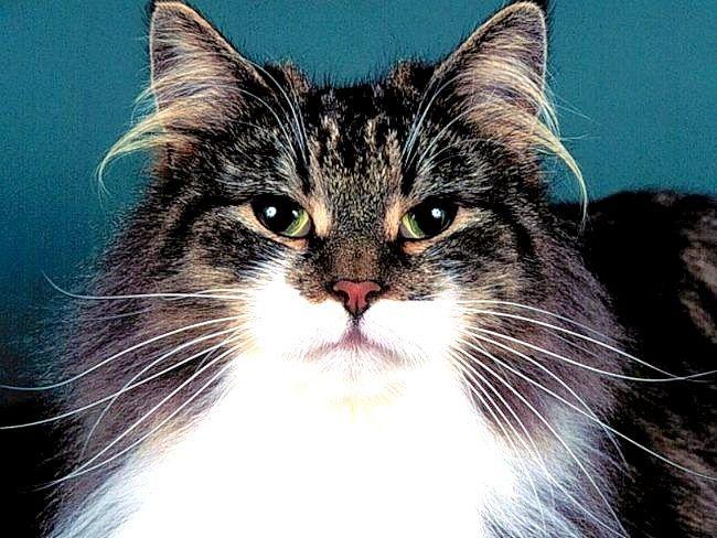 як одягти попону на кішку