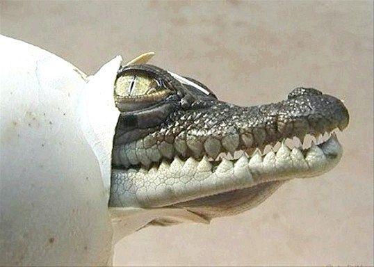 Як розмножуються крокодили