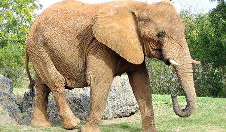 яким ім`ям назвати слона