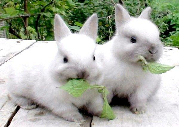 як годувати домашнього кролика
