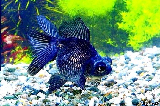Як містити рибку вуалехвост