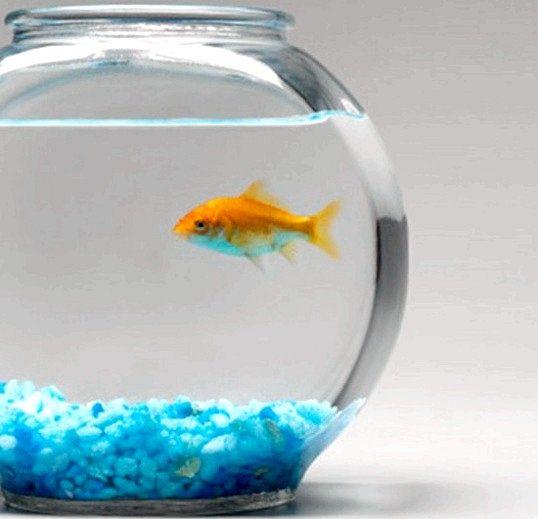 Як містити золоту рибку в круглому акваріумі
