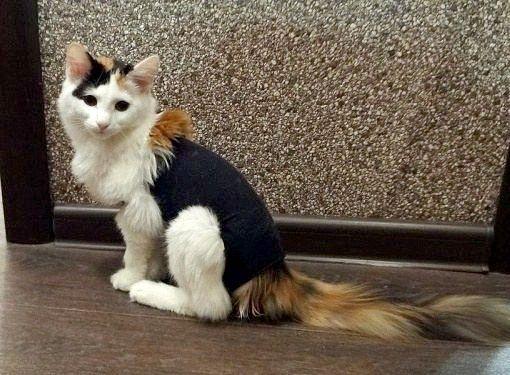 Як стерилізувати кішку