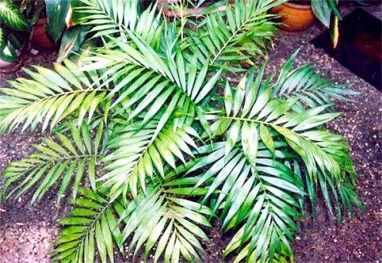 Як доглядати за пальмою хамедорея