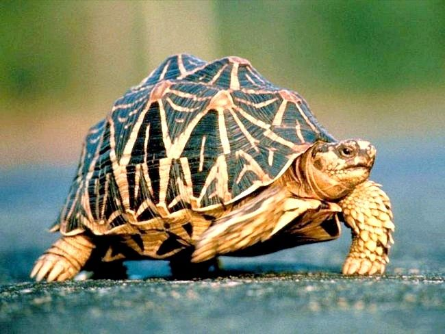 сухопутна черепаха як зробити будиночок самомцу