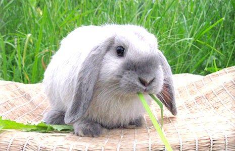Як доглядати за висловухими кроликами