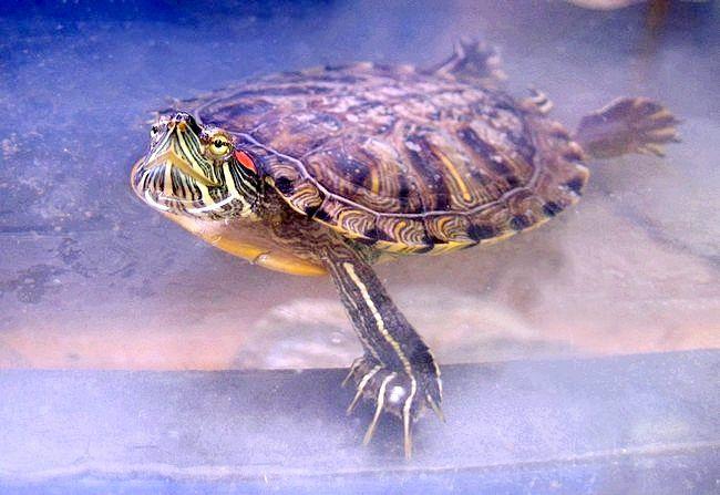 як доглядати і як годувати черепаху