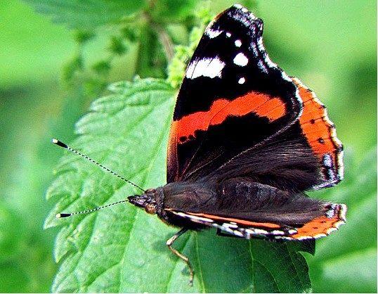Як виглядає метелик адмірал
