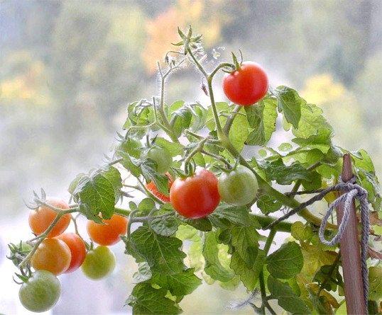 Як уповільнити зростання помідорів