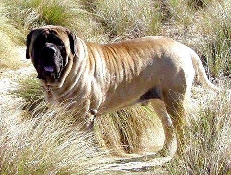 Найбільша собака у світі