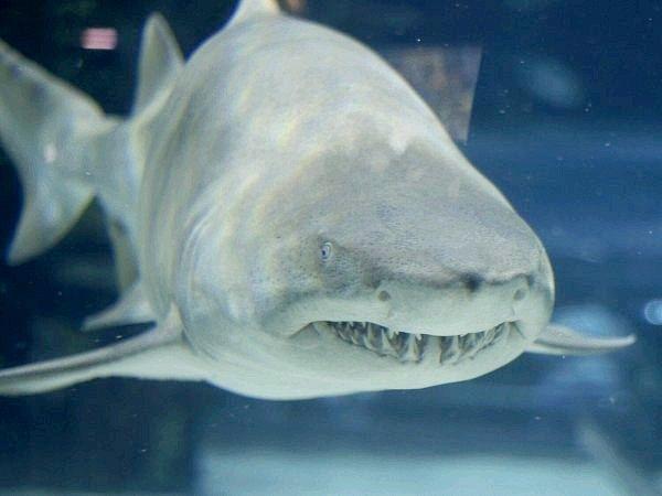 Яка найнебезпечніша акула для людини
