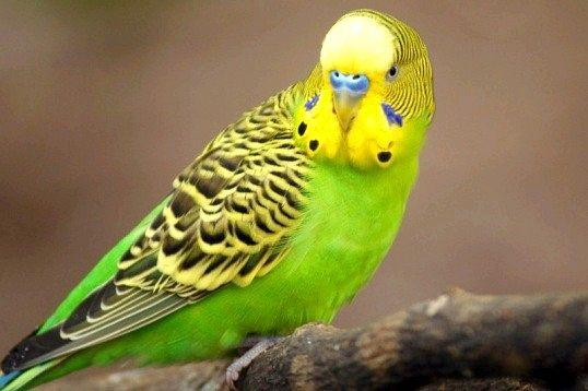 Які є породи папуг, що говорять