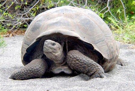 галапагоська черепаха