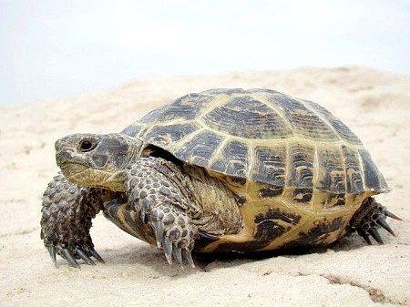 Середземноморська черепаха
