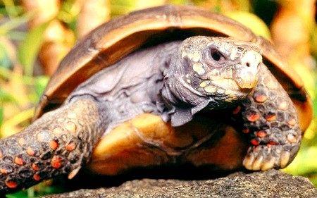 Вугільна черепаха