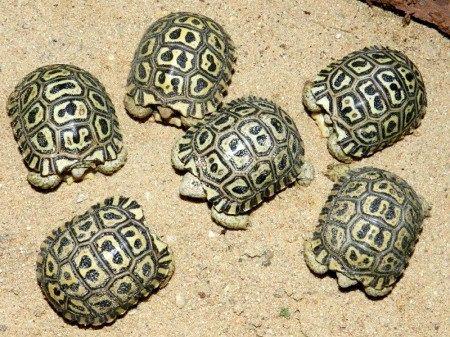 Черепаха леопардова