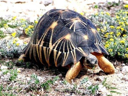 Промениста черепаха