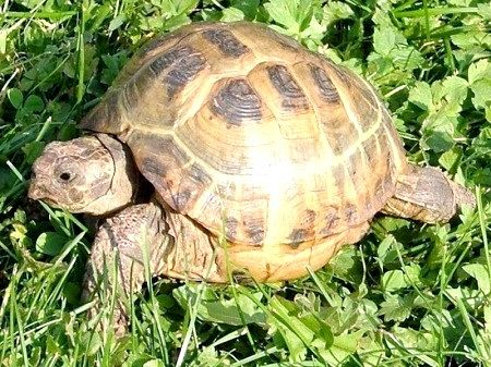 Середньоазіатська черепаха
