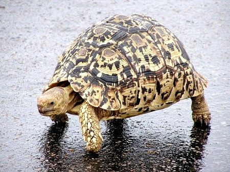 Пантерових черепаха