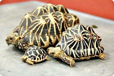Індійська зірчаста черепаха