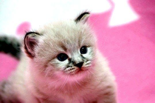 Які щеплення потрібні кошеняті