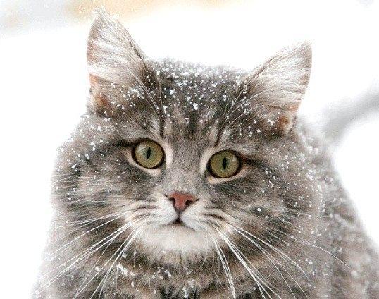 Які найкрасивіші породи кішок