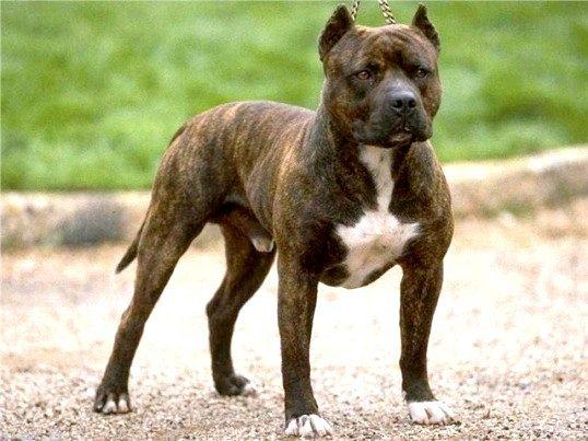 Які найнебезпечніші породи собак